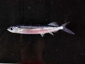 Halfbeak - Oxyporhamphus micropterus has been considered either a halfbeak or a flyingfish.