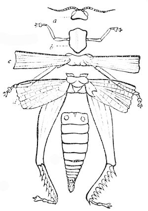 PSM V16 D665 Somites of insect.jpg