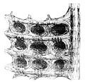 PSM V17 D628 Water cells of the camel stomach.jpg