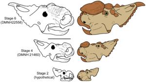 Centrosaurinae - Hypothesised ontogenic development of Pachyrhinosaurus perotorum