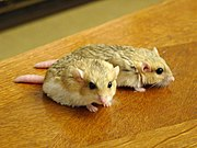 A male and female fat-tailed gerbil (Pachyuromys duprasi)