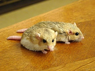 Gerbil - A male and female fat-tailed gerbil (Pachyuromys duprasi)