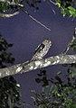 Pacific Screech-Owl (7132019221).jpg
