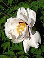 Paeonia suffruticosa cv. 16.JPG