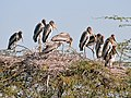 Painted Stork- Immatures at nest- Im IMG 8531.jpg