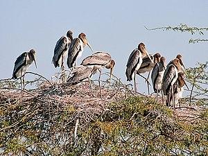 Painted Stork- Immatures at nest- Im IMG 8531.jpg