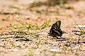 Palamedes swallowtail (26016885337).jpg
