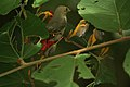Pale-billed Flowerpecker (Dicaeum erythrorhynchos) on Helicteres isora W IMG 1368.jpg