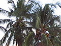 Palma colima.jpg