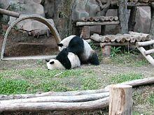 Panda CMZ 1.jpg