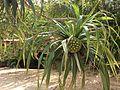 Pandanus tectorius fruits Beqa Fiji 1.jpg