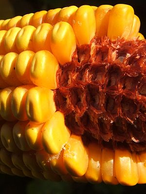 Corncob - A corncob with attached corn kernels