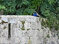 Paon Fort de Montcorin.JPG