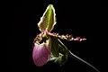 Paphiopedilum liemianum (Fowlie) K.Karas. & K.Saito, Bull. Hiroshima Bot. Gard. 5 57 (1982) (25874285207).jpg