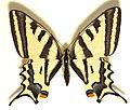 Papilio.alexanor.mounted.jpg