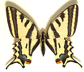 Papilio.alexanor.mounted.jpg
