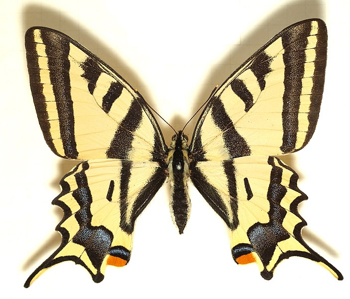 File:Papilio.alexanor.mounted.jpg