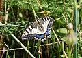 Papilio May 2008-1.jpg