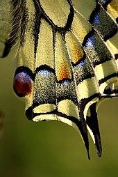 Papilio machaon 07.JPG