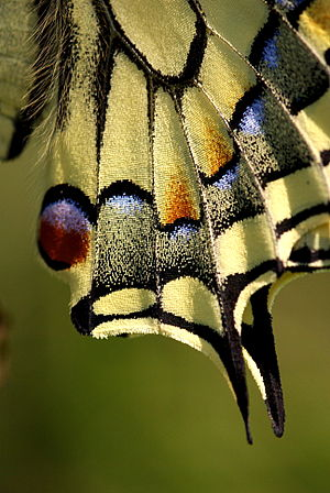 Papilio machaon - Trailing edges of the hindwings resemble the tails of swallows