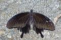 Papilio nephelus chaonulus back 20140719.jpg