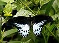 Papilio polymnestor (Blue Mormon) from Chalavara, Palakkad.jpg