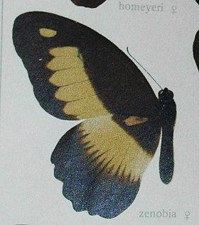 Papiliozenobia.jpg