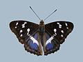 Papillon 010707.jpg