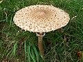 Parasol (Macrolepiota procera) (5010343938).jpg
