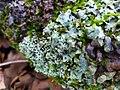Parmelia sulcata 108306760.jpg