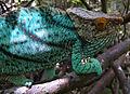 Parson's Chameleon, Ile Sainte Marie, Madagascar1.jpg