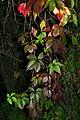 Parthenocissus quinquefolia20190910 16476.jpg