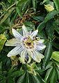 Passiflora caerulea kz2.jpg