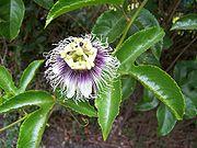 Flower of P. edulis