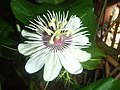 Passiflora foetida33.jpg