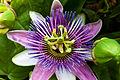 Passion flower (5873640069).jpg