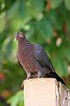 Patagioenas squamosa in Barbados a-02.jpg