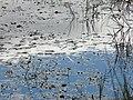 Patterns on a pond - geograph.org.uk - 917246.jpg