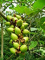 Paulownia tomentosa - unreife Früchte.jpg