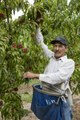 Peach picker Octaviano Vasquez-Lopez in an orchard in Palisade, outside Grand Junction in a section of western Colorado renowned for its peaches and nectarines LCCN2015633498.tif