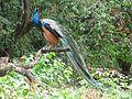 Peacock parambikkulam.jpg