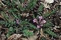 Pedicularis acaulis Postojna SI.jpg