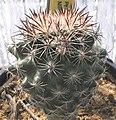 Pediocactus nigrispinus.jpg