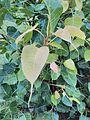 Peepal leaf image1.jpg