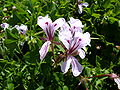 Pelargonium peltatum flower.jpg