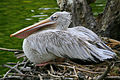 Pelican at San Diego Zoo.jpg