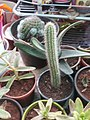 Peniocereus Cactus in Pune.jpg
