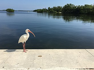 John Pennekamp Coral Reef State Park - An ibis on the waterfront of Largo Sound.
