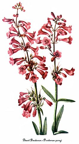 Penstemon parryi, by Mary Vaux Walcott.jpg