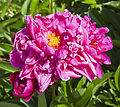 Peonía (Paeonia suffruticosa), Múnich, Alemania, 2012-06-07, DD 02.jpg